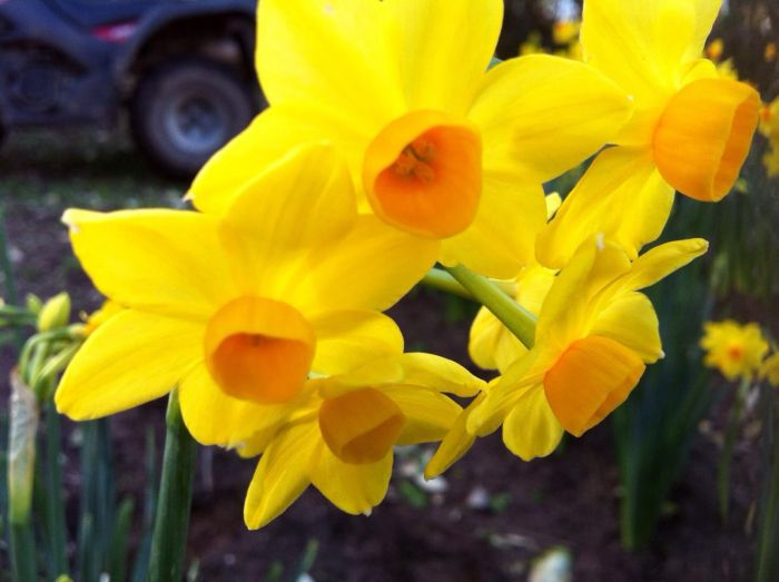 40 Narcissi Flowers Every Fortnight for 10 Deliveries